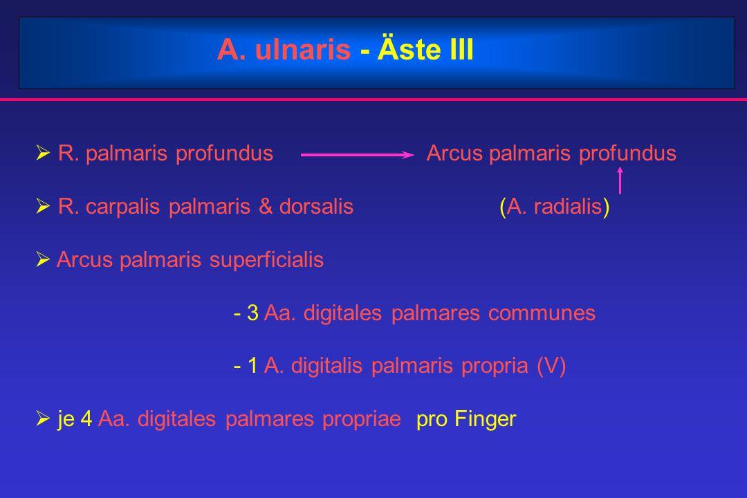 A. ulnaris - Äste III  R. palmaris profundus Arcus palmaris profundus  R. carpalis palmaris & dorsalis (A. radialis)  Arcus palmaris superficialis