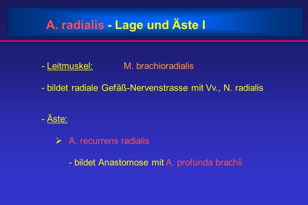 A. radialis - Lage und Äste I - Leitmuskel: M. brachioradialis - bildet radiale Gefäß-Nervenstrasse mit Vv., N. radialis - Äste:  A. recurrens radial