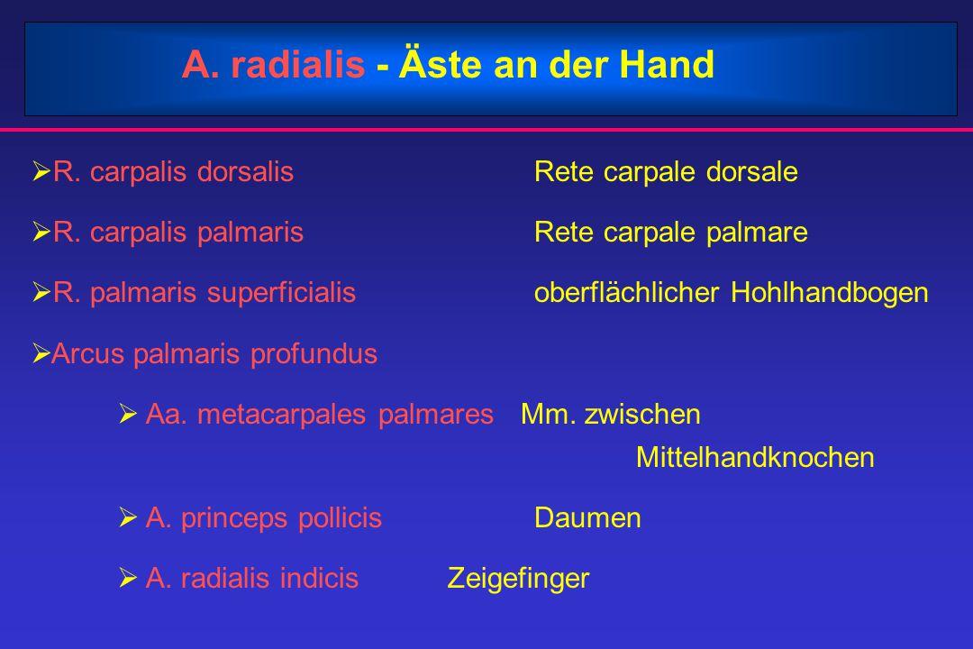 A. radialis - Äste an der Hand  R. carpalis dorsalis Rete carpale dorsale  R. carpalis palmaris Rete carpale palmare  R. palmaris superficialis obe