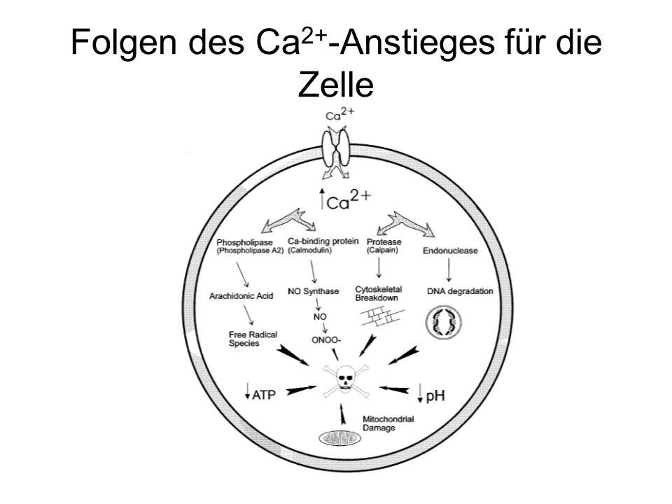 Folgen des Ca 2+ -Anstieges für die Zelle
