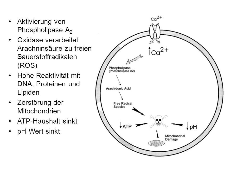 Aktivierung von Phospholipase A 2 Oxidase verarbeitet Arachninsäure zu freien Sauerstoffradikalen (ROS) Hohe Reaktivität mit DNA, Proteinen und Lipiden Zerstörung der Mitochondrien ATP-Haushalt sinkt pH-Wert sinkt