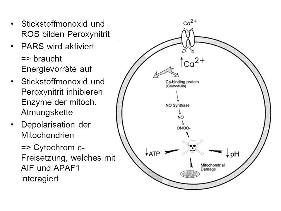 Stickstoffmonoxid und ROS bilden Peroxynitrit PARS wird aktiviert => braucht Energievorräte auf Stickstoffmonoxid und Peroxynitrit inhibieren Enzyme der mitoch.