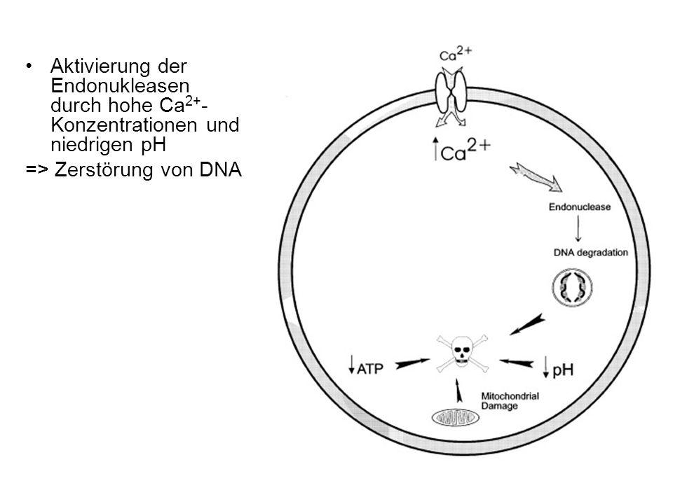 Aktivierung der Endonukleasen durch hohe Ca 2+ - Konzentrationen und niedrigen pH => Zerstörung von DNA