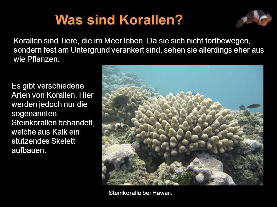 Korallen sind Tiere, die im Meer leben.