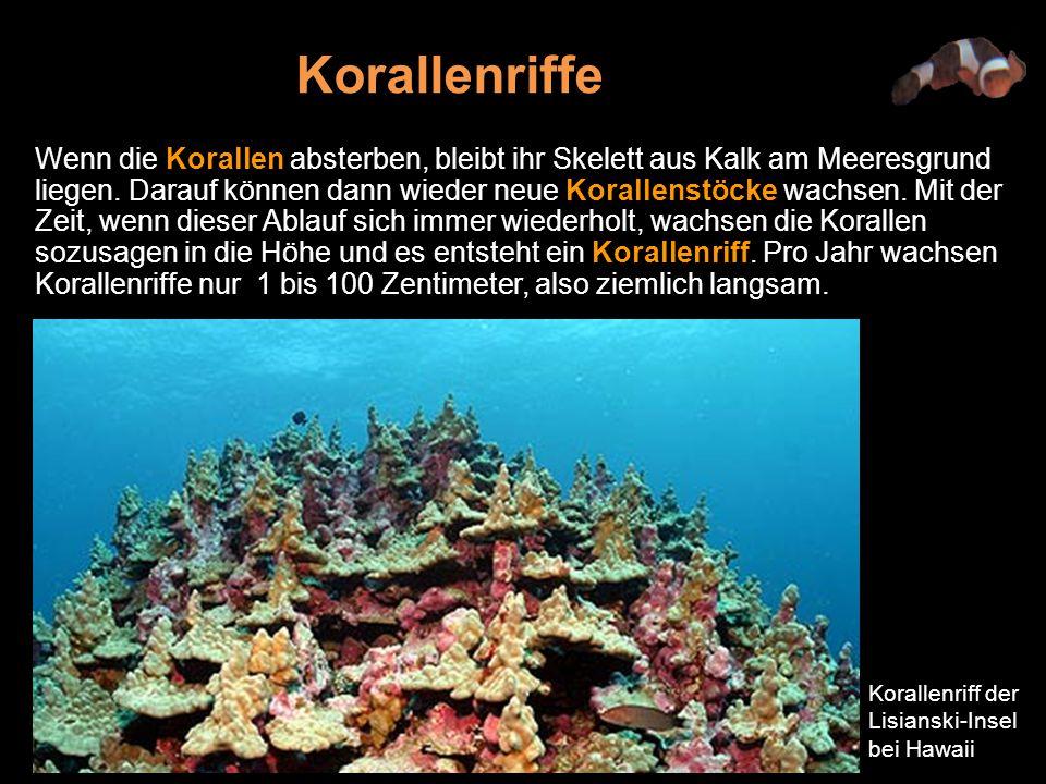 Wenn die Korallen absterben, bleibt ihr Skelett aus Kalk am Meeresgrund liegen.
