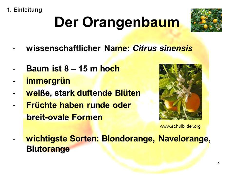 4 Der Orangenbaum 1. Einleitung -wissenschaftlicher Name: Citrus sinensis -Baum ist 8 – 15 m hoch -immergrün -weiße, stark duftende Blüten -Früchte ha