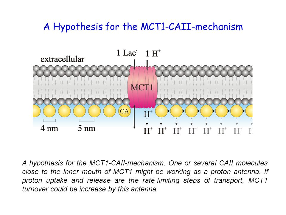 A Hypothesis for the MCT1-CAII-mechanism A hypothesis for the MCT1-CAII-mechanism. One or several CAII molecules close to the inner mouth of MCT1 migh