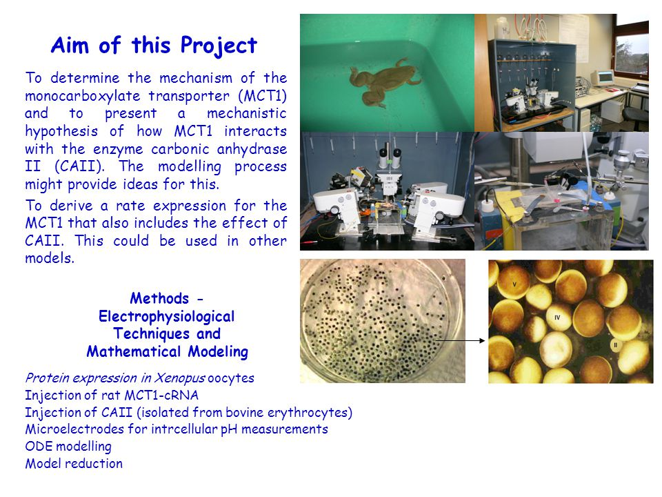 Protein expression in Xenopus oocytes Injection of rat MCT1-cRNA Injection of CAII (isolated from bovine erythrocytes) Microelectrodes for intrcellular pH measurements ODE modelling Model reduction To determine the mechanism of the monocarboxylate transporter (MCT1) and to present a mechanistic hypothesis of how MCT1 interacts with the enzyme carbonic anhydrase II (CAII).