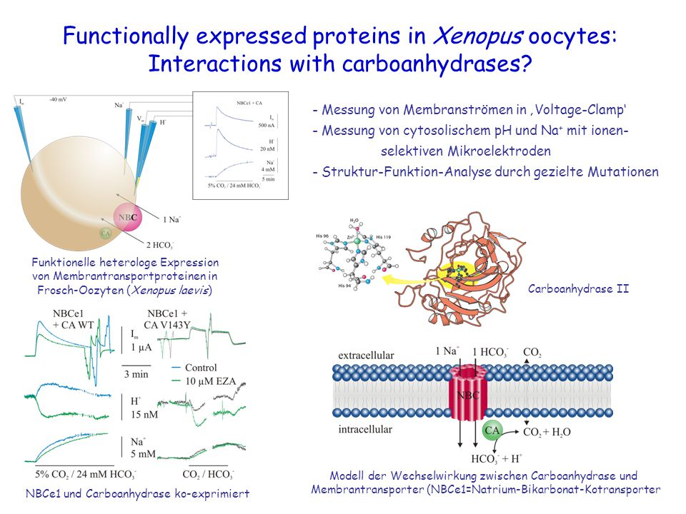 Functionally expressed proteins in Xenopus oocytes: Interactions with carboanhydrases? Carboanhydrase II Funktionelle heterologe Expression von Membra