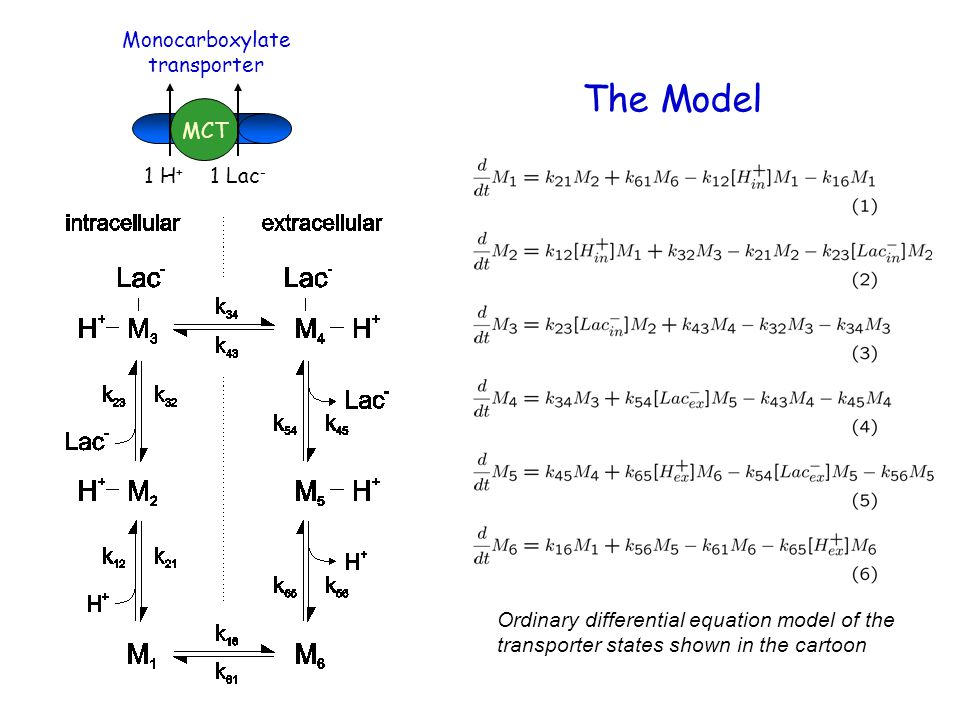 CAII Included in Model The effect of CAII is included in the model as an increased rate of proton uptake and release on the intracellular side of the transporter.
