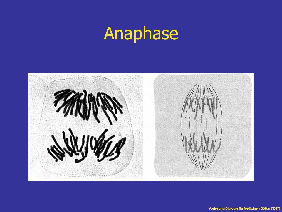 Vorlesung Biologie für Mediziner (Bölker FB17) Anaphase