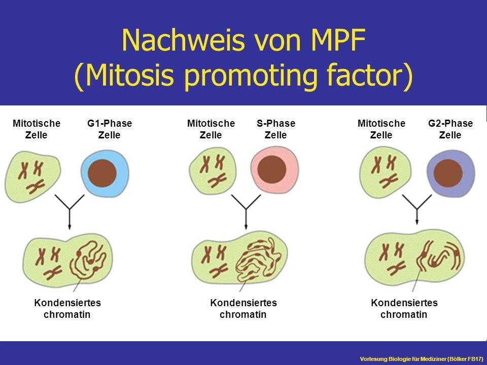 Vorlesung Biologie für Mediziner (Bölker FB17) Nachweis von MPF (Mitosis promoting factor) Mitotische Zelle G1-Phase Zelle Mitotische Zelle S-Phase Ze