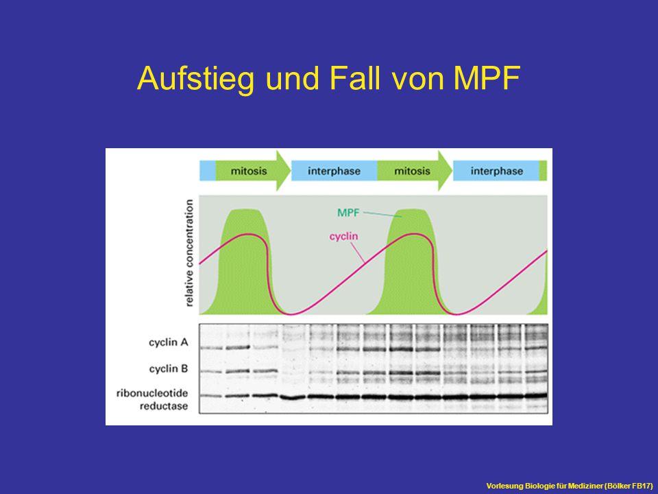 Vorlesung Biologie für Mediziner (Bölker FB17) Aufstieg und Fall von MPF