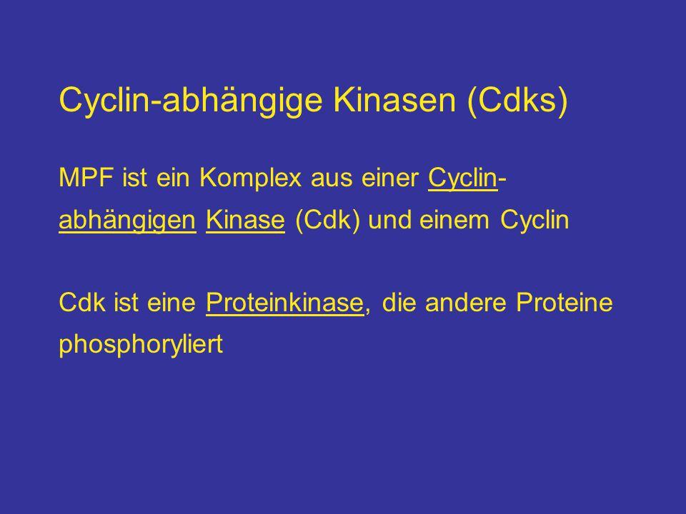 Cyclin-abhängige Kinasen (Cdks) MPF ist ein Komplex aus einer Cyclin- abhängigen Kinase (Cdk) und einem Cyclin Cdk ist eine Proteinkinase, die andere