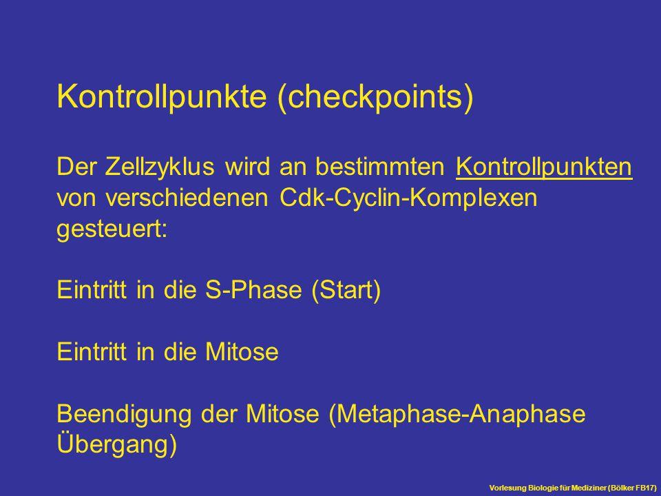 Vorlesung Biologie für Mediziner (Bölker FB17) Kontrollpunkte (checkpoints) Der Zellzyklus wird an bestimmten Kontrollpunkten von verschiedenen Cdk-Cy