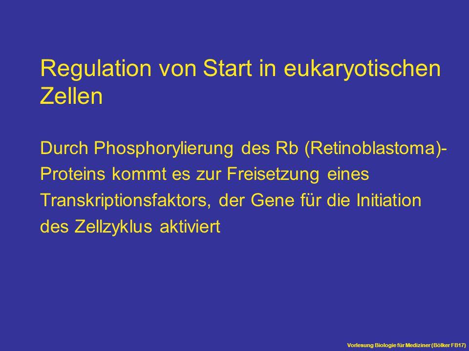Vorlesung Biologie für Mediziner (Bölker FB17) Regulation von Start in eukaryotischen Zellen Durch Phosphorylierung des Rb (Retinoblastoma)- Proteins