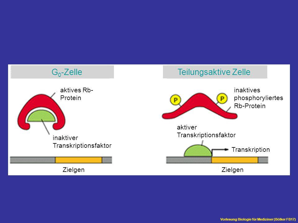 Vorlesung Biologie für Mediziner (Bölker FB17) aktives Rb- Protein inaktiver Transkriptionsfaktor Zielgen Transkription aktiver Transkriptionsfaktor i