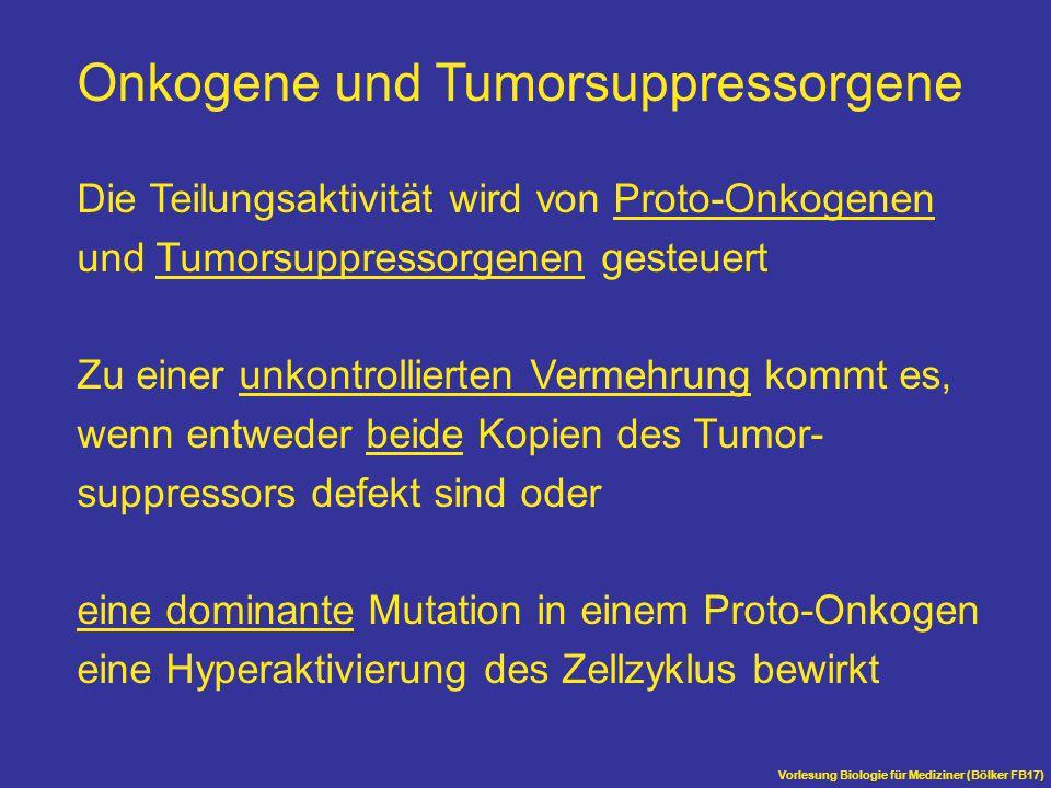 Vorlesung Biologie für Mediziner (Bölker FB17) Onkogene und Tumorsuppressorgene Die Teilungsaktivität wird von Proto-Onkogenen und Tumorsuppressorgene