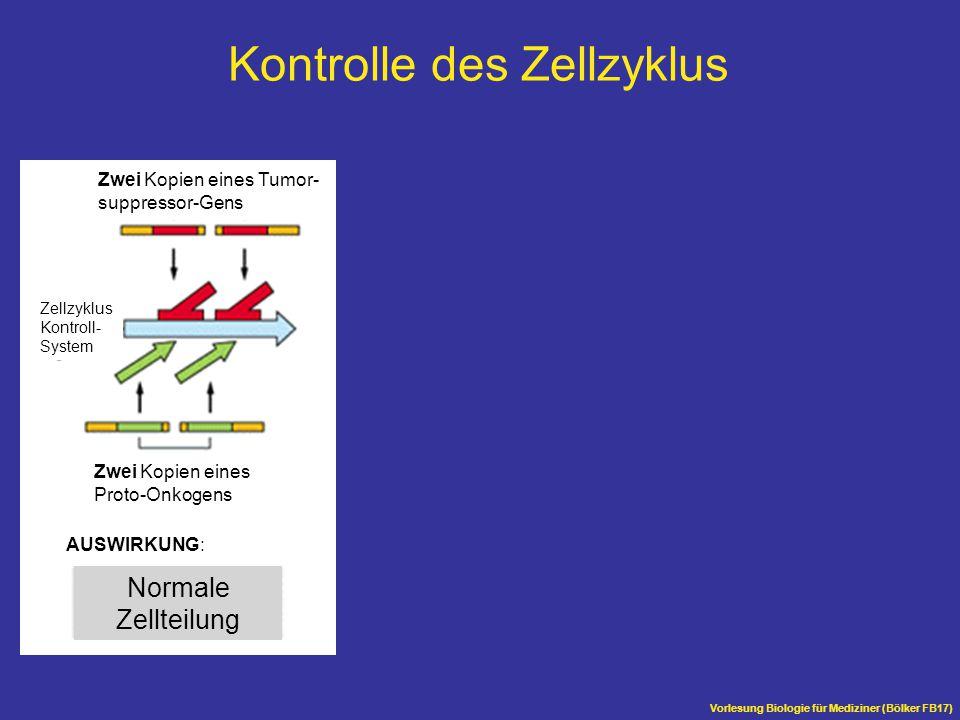 Vorlesung Biologie für Mediziner (Bölker FB17) Normale Zellteilung Zwei Kopien eines Tumor- suppressor-Gens Zwei Kopien eines Proto-Onkogens Zellzyklu