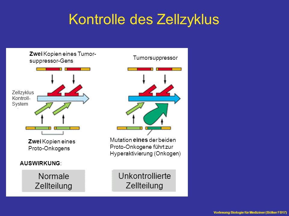 Vorlesung Biologie für Mediziner (Bölker FB17) Normale Zellteilung Unkontrollierte Zellteilung Mutation eines der beiden Proto-Onkogene führt zur Hype