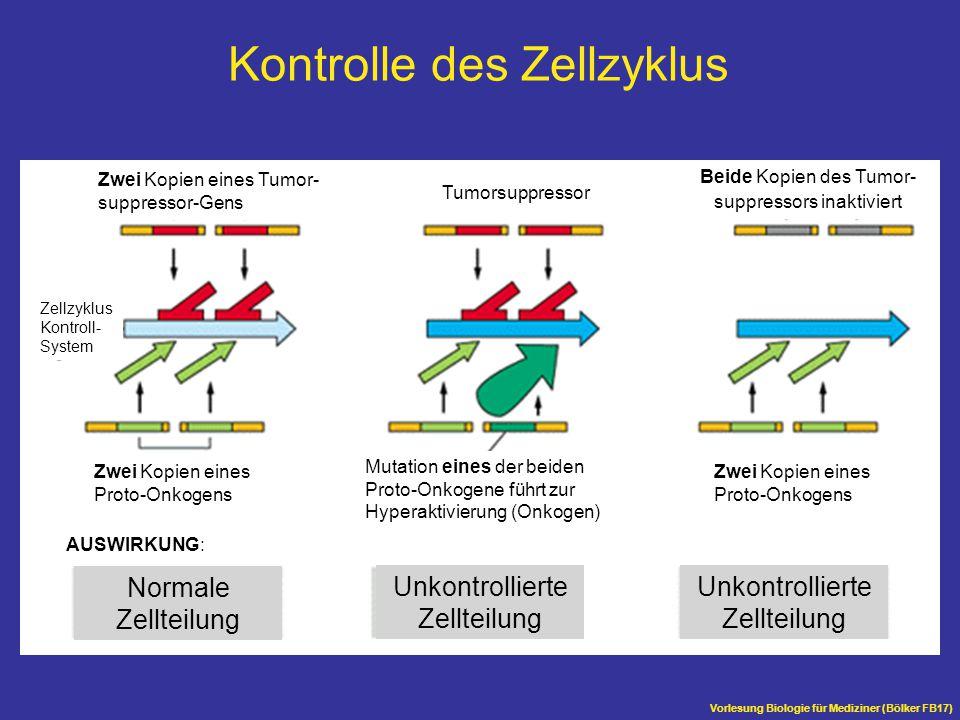 Vorlesung Biologie für Mediziner (Bölker FB17) Normale Zellteilung Unkontrollierte Zellteilung Unkontrollierte Zellteilung Mutation eines der beiden P