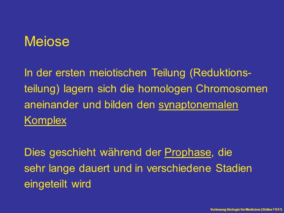 Vorlesung Biologie für Mediziner (Bölker FB17) Meiose In der ersten meiotischen Teilung (Reduktions- teilung) lagern sich die homologen Chromosomen an