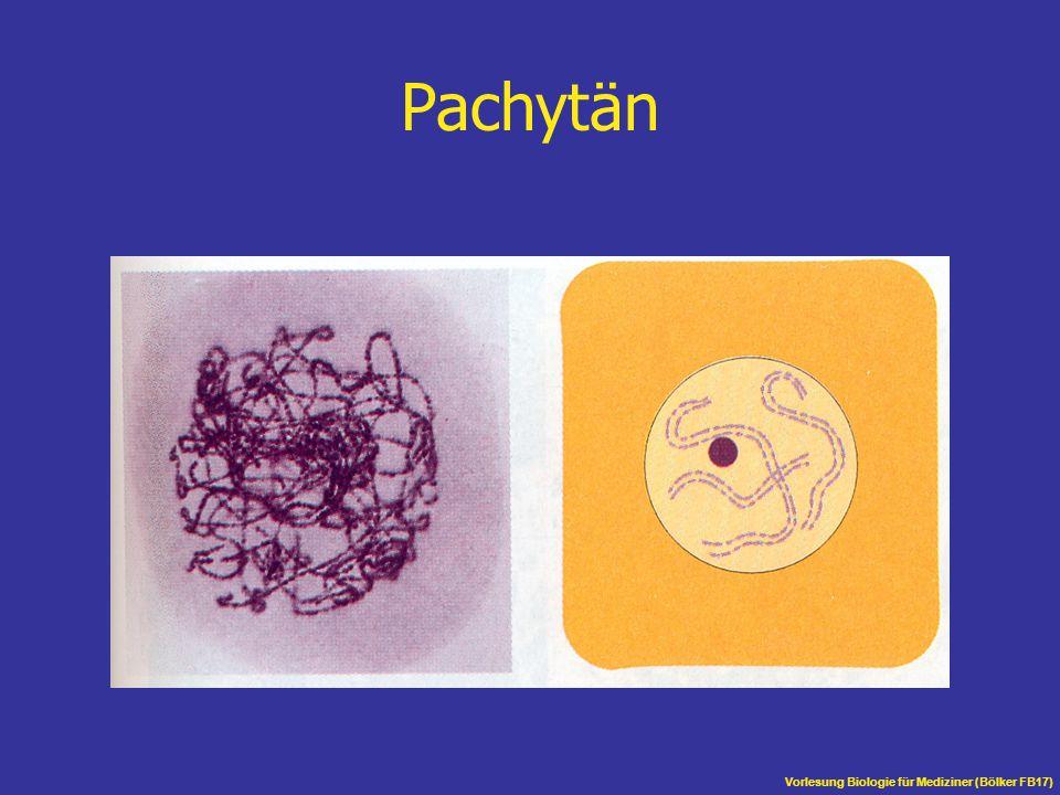 Vorlesung Biologie für Mediziner (Bölker FB17) Pachytän