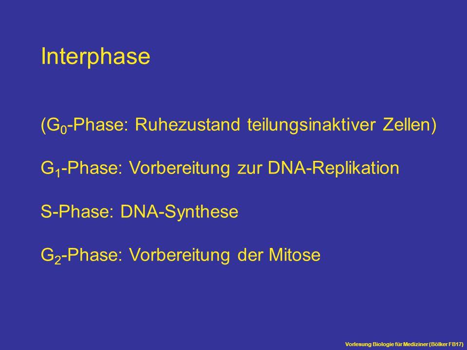 Vorlesung Biologie für Mediziner (Bölker FB17) G1-Cyclin Cdk Start-Kinase Initiation der DNA-Replikation Initiation der Mitose mitotisches Cyclin M-phase-promoting factor