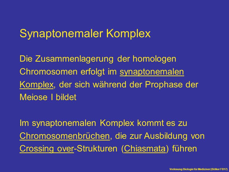 Vorlesung Biologie für Mediziner (Bölker FB17) Synaptonemaler Komplex Die Zusammenlagerung der homologen Chromosomen erfolgt im synaptonemalen Komplex