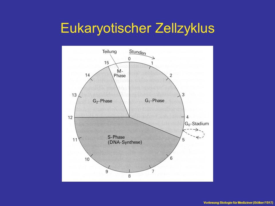 Vorlesung Biologie für Mediziner (Bölker FB17) Mitose Nur während der Mitose sind die Chromosomen sichtbar Damit eine Aufteilung erfolgen kann, werden die Chromosomen durch Kondensation stark verkürzt