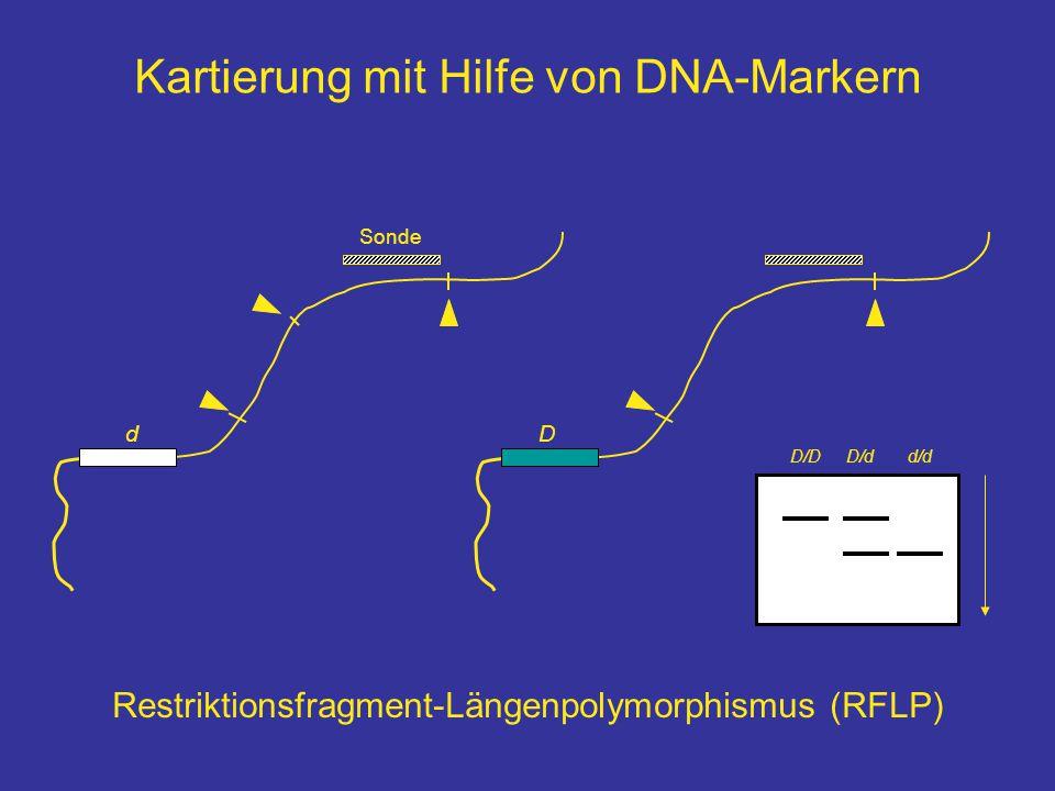 Kartierung mit Hilfe von DNA-Markern dD D/dd/dD/D Sonde Restriktionsfragment-Längenpolymorphismus (RFLP)