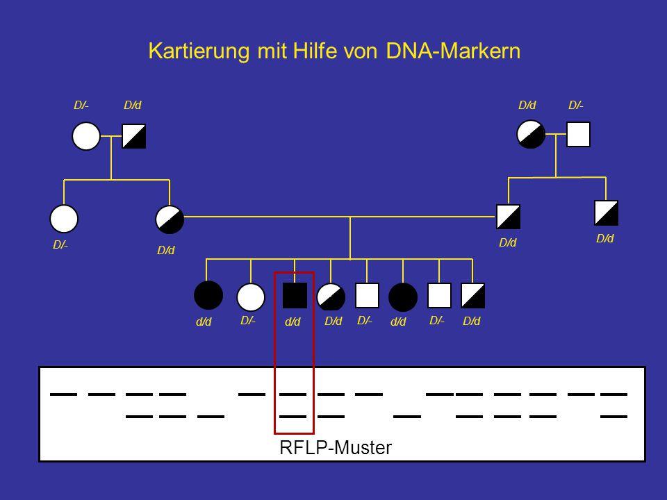 D/-D/d D/- d/d D/- Kartierung mit Hilfe von DNA-Markern D/d RFLP-Muster