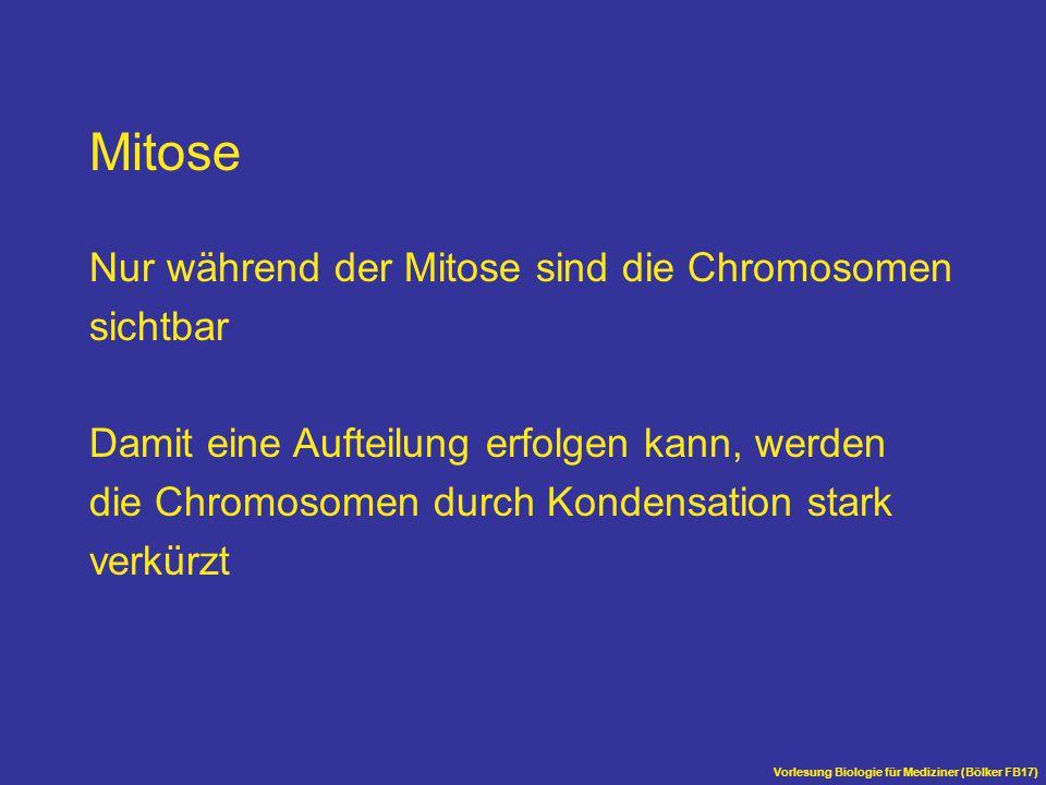 Vorlesung Biologie für Mediziner (Bölker FB17) Mitose Nur während der Mitose sind die Chromosomen sichtbar Damit eine Aufteilung erfolgen kann, werden