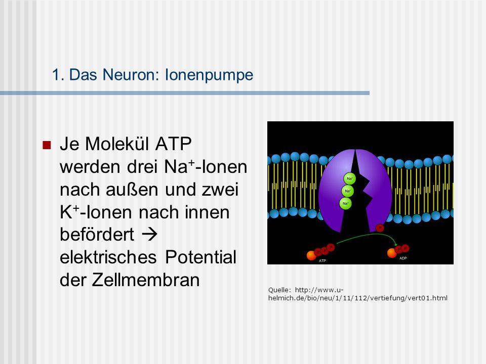 1. Das Neuron: Ionenpumpe Je Molekül ATP werden drei Na + -Ionen nach außen und zwei K + -Ionen nach innen befördert  elektrisches Potential der Zell
