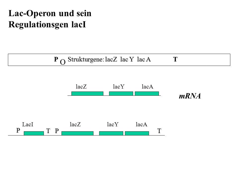 P Strukturgene: lacZ lac Y lac A T Lac-Operon und sein Regulationsgen lacI mRNA lacZ lacY lacA LacI lacZ lacY lacA P T P T O