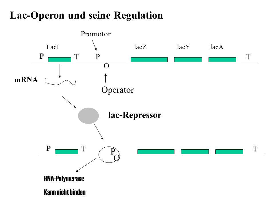 Lac-Operon und seine Regulation LacI lacZ lacY lacA P T P T O Operator Promotor mRNA lac-Repressor P TT RNA-Polymerase Kann nicht binden O P