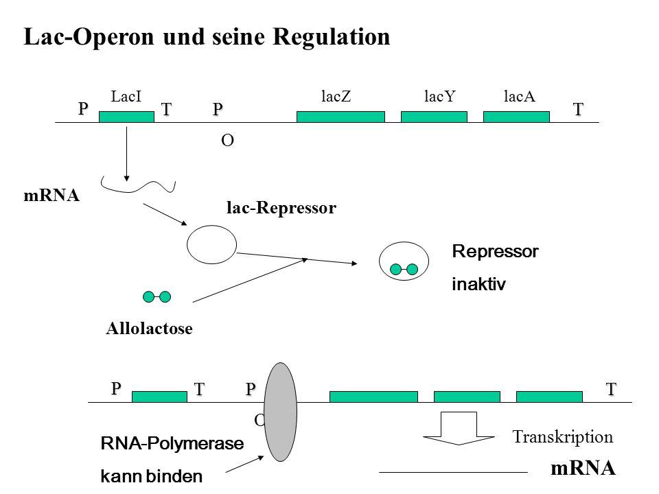Lac-Operon und seine Regulation P T P T O P T O LacI lacZ lacY lacA mRNA lac-Repressor Allolactose Repressor inaktiv RNA-Polymerase kann binden Transk
