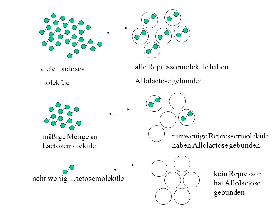 viele Lactose- moleküle alle Repressormoleküle haben Allolactose gebunden mäßige Menge an Lactosemoleküle nur wenige Repressormoleküle haben Allolacto
