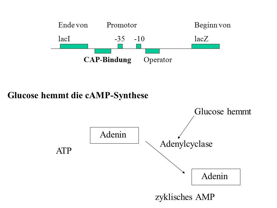 Ende von lacI CAP-Bindung Operator Promotor -35 -10 Beginn von lacZ Glucose hemmt die cAMP-Synthese ATP Adenin Adenylcyclase Glucose hemmt Adenin zykl