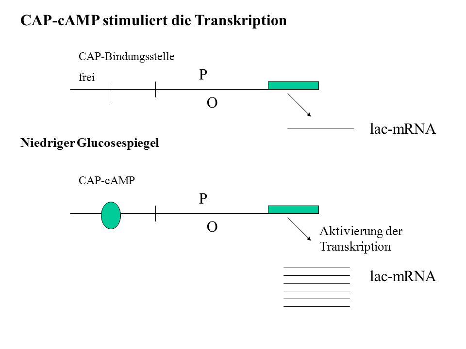 CAP-cAMP stimuliert die Transkription P O CAP-Bindungsstelle frei lac-mRNA P O CAP-cAMP lac-mRNA Niedriger Glucosespiegel Aktivierung der Transkriptio