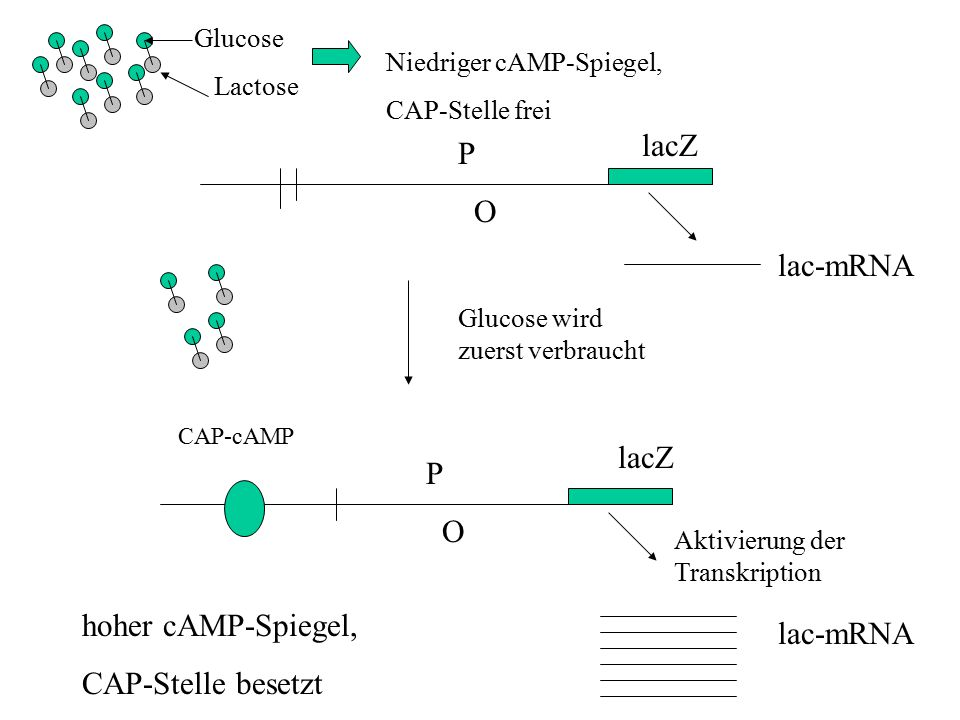 P O lac-mRNA P O CAP-cAMP lac-mRNA Aktivierung der Transkription Glucose Lactose Niedriger cAMP-Spiegel, CAP-Stelle frei Glucose wird zuerst verbrauch