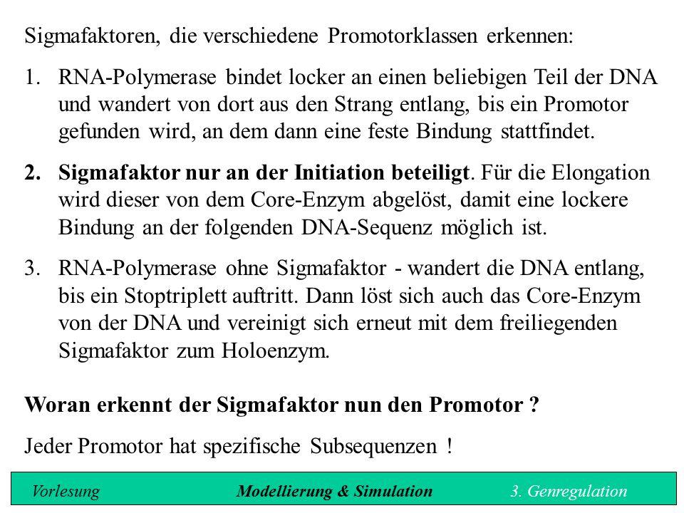 Sigmafaktoren, die verschiedene Promotorklassen erkennen: 1.RNA-Polymerase bindet locker an einen beliebigen Teil der DNA und wandert von dort aus den