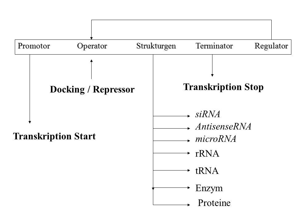 PromotorOperatorStrukturgenTerminatorRegulator Docking / Repressor Enzym tRNA rRNA Proteine Transkription Stop Transkription Start microRNA AntisenseR