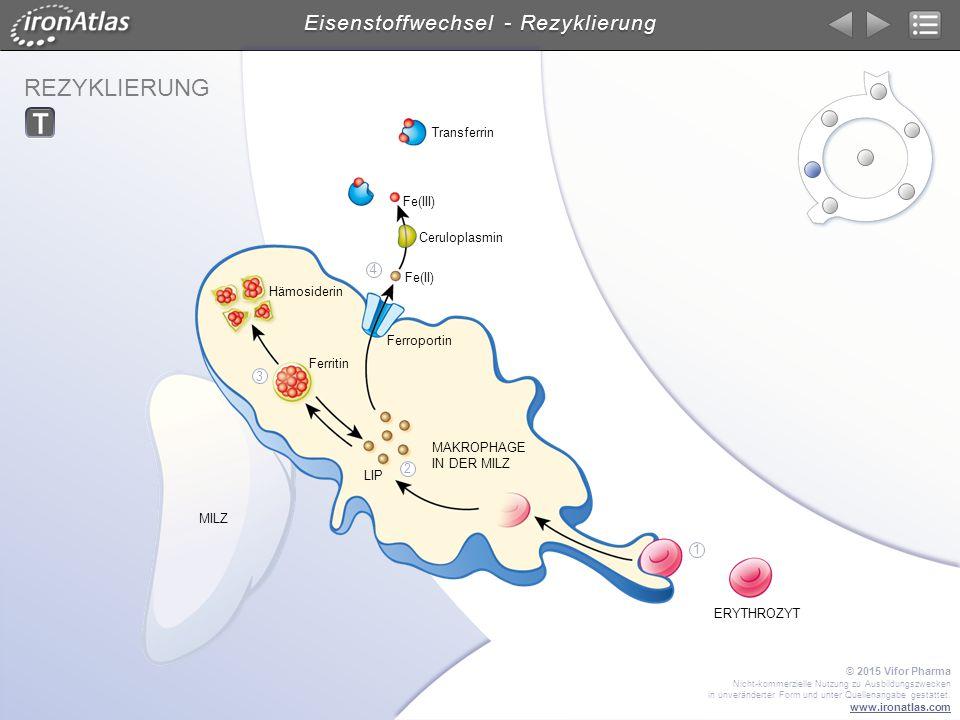 REZYKLIERUNG Eisenstoffwechsel - Rezyklierung MILZ MAKROPHAGE IN DER MILZ ERYTHROZYT Ceruloplasmin Transferrin Ferroportin Hämosiderin Ferritin Fe(III