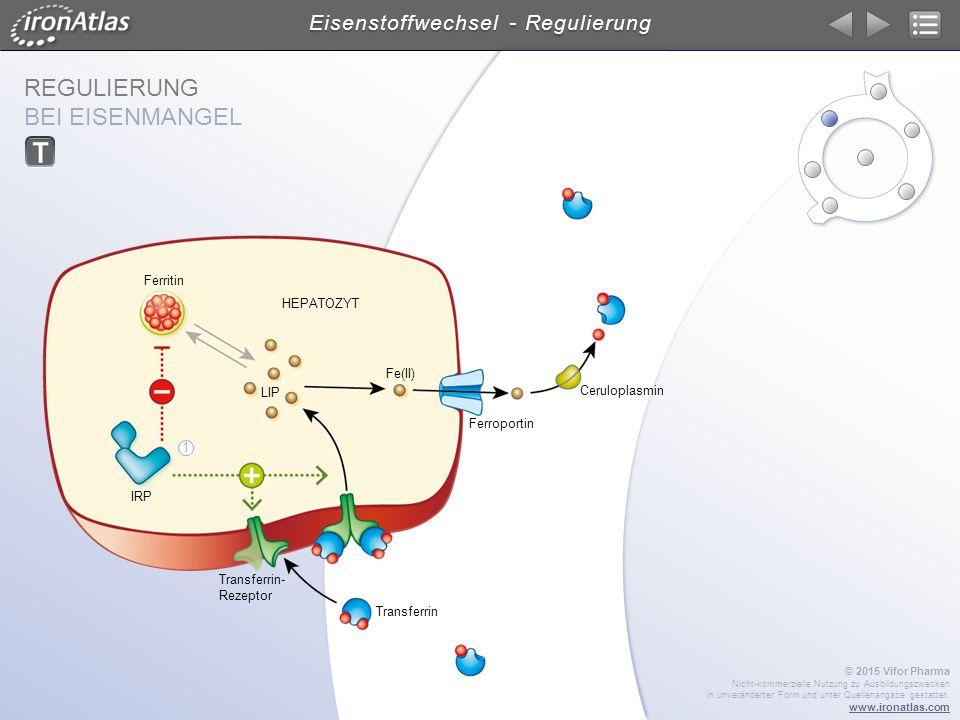 REGULIERUNG BEI EISENMANGEL Eisenstoffwechsel - Regulierung HEPATOZYT Ceruloplasmin Transferrin Ferroportin Ferritin Fe(II) LIP Transferrin- Rezeptor