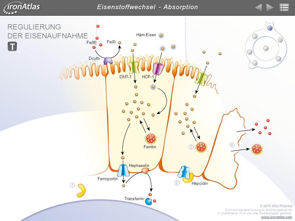 REGULIERUNG DER EISENAUFNAHME Eisenstoffwechsel - Absorption DMT-1 Dcytb Transferrin Hephaestin Ferroportin HCP-1 Ferritin Fe(III) Fe(II) Häm-Eisen He