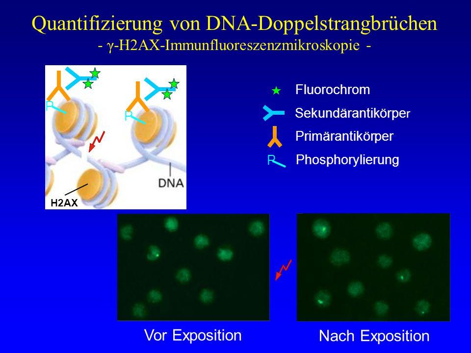 DNA-Doppelstrangbrüche nach Herz-CT - Korrelation mit der Exposition - Quelle: [12, 13] r=0,88, p<0,0001 CT-induzierte DSB / Zelle Dosislängenprodukt [mGy*cm]