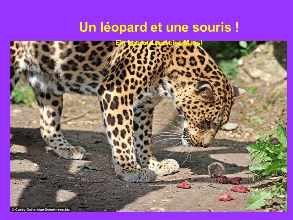 Un léopard et une souris ! Ein Leopard und eine Maus!