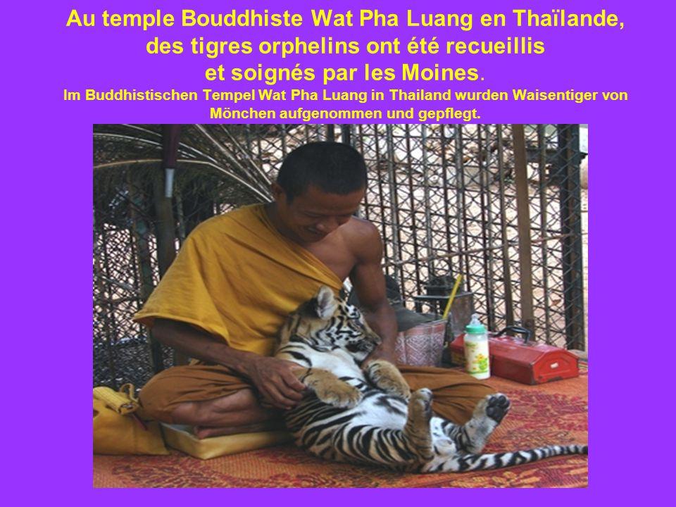 Au temple Bouddhiste Wat Pha Luang en Thaïlande, des tigres orphelins ont été recueillis et soignés par les Moines.