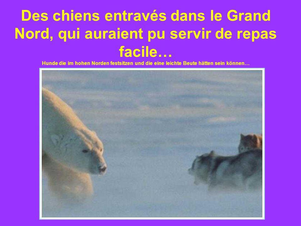 Des chiens entravés dans le Grand Nord, qui auraient pu servir de repas facile… Hunde die im hohen Norden festsitzen und die eine leichte Beute hätten sein können…